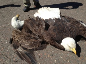 Two Bald Eagles In Airport Brawl