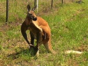 Kangaroo Police Chase in Florida